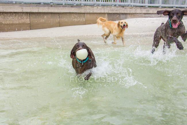 Три собаки играют на пляже, США — стоковое фото