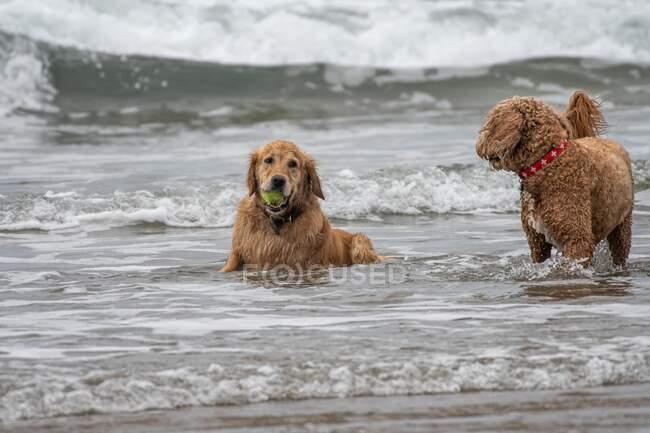 Две собаки играют в океане с мячом, США — стоковое фото