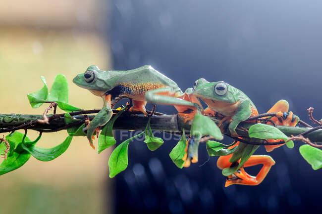 Due rane volanti Wallace su un ramo, Indonesia — Foto stock