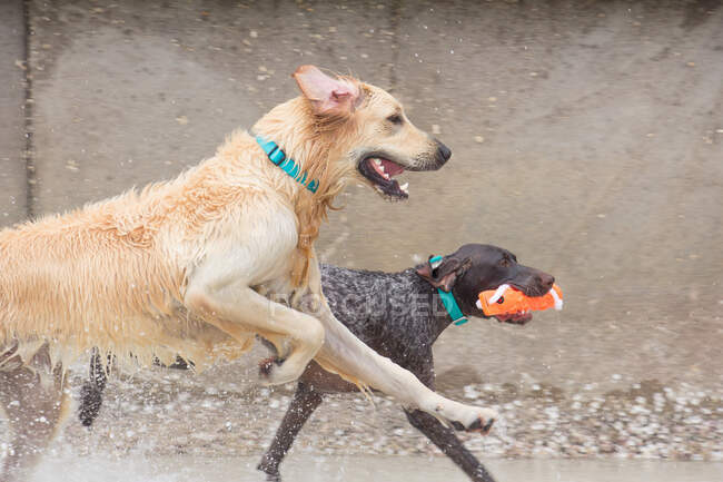 Две собаки играют на пляже, США — стоковое фото