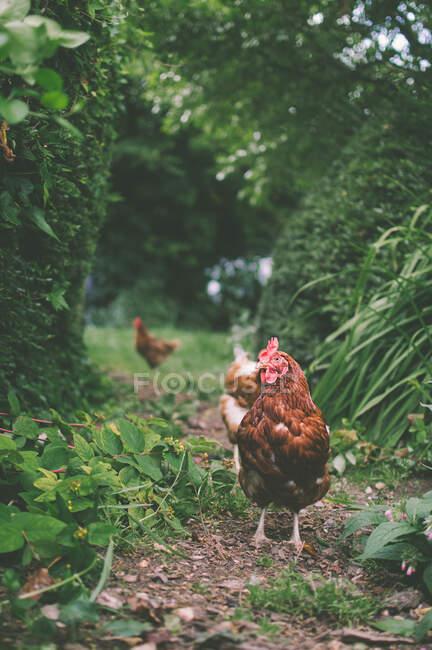 Кури вільного діапазону в сільському саду, Англія, Велика Британія. — стокове фото