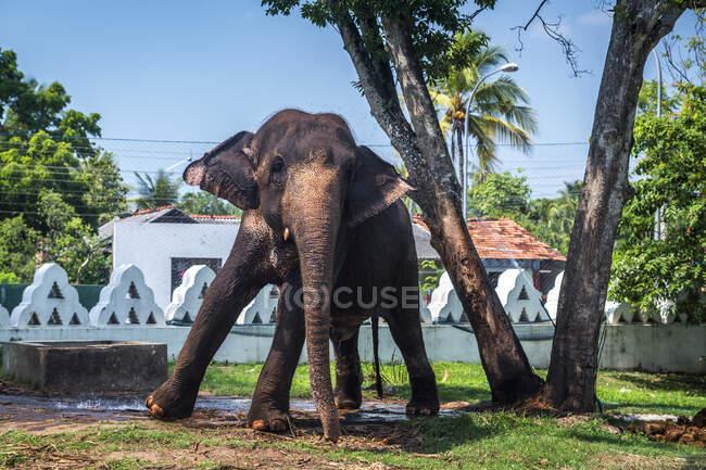 Elefante asiatico in piedi sotto un albero nel parco, Dondra, Matara, Provincia meridionale, Sri Lanka — Foto stock