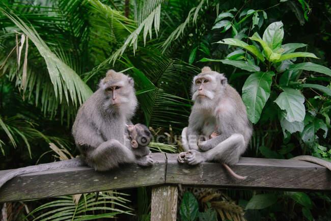 Двоє балійських довгохвостих мавп, які сидять на стіні, у заповіднику Священної мавпи, Убуд, Балі, Індонезія. — стокове фото