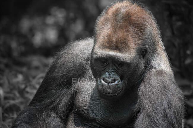 Ritratto di un gorilla argentato, Indonesia — Foto stock