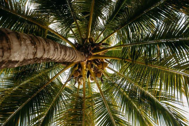 Vista de bajo ángulo de los cocos en una palmera, Rawai Beach, Phuket, Tailandia - foto de stock