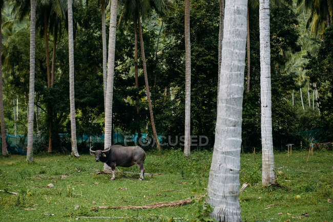 Bull standing by palm trees, Koh Samui, Thailand — Stock Photo