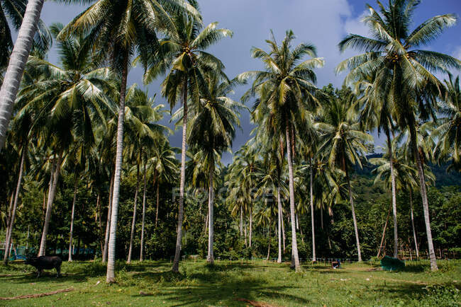 Palm trees, Koh Samui, Thailand — Stock Photo