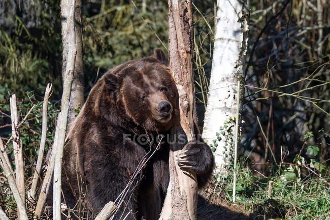 Grizzly bear Abbracciare un albero, Stati Uniti — Foto stock