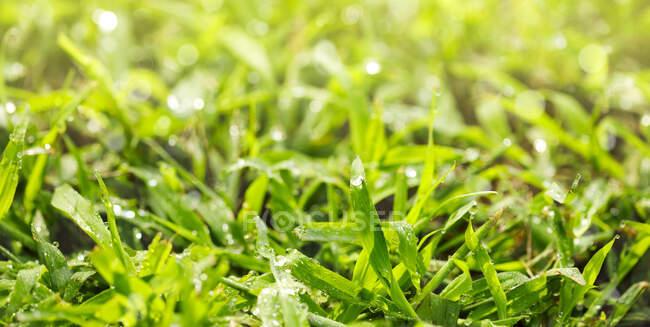 Hierba verde con gotas de rocío en el suelo - foto de stock