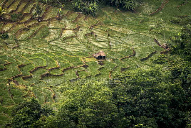 Повітряний вид на поля рису (Індонезія). — стокове фото