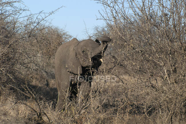Elephant calf in the bush, Kruger National Park, South Africa — Stock Photo