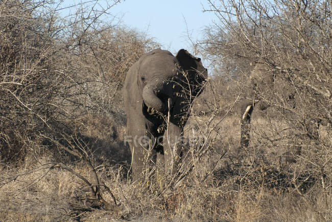 Elephant calf running in bush, Kruger National Park, South Africa — Stock Photo