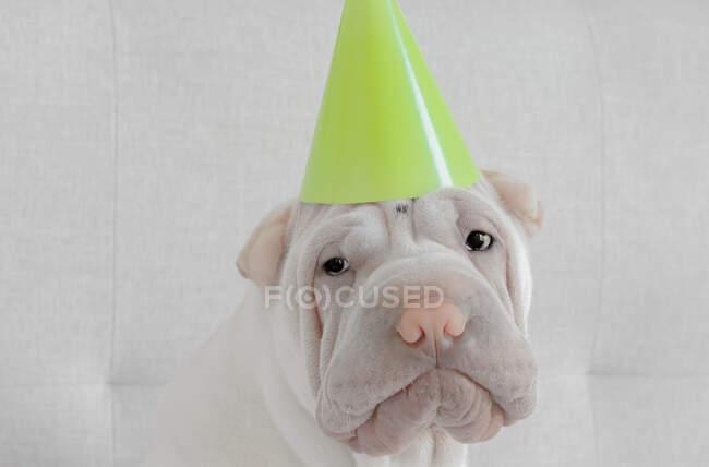 Щеня Шар-пей у капелюсі. — стокове фото