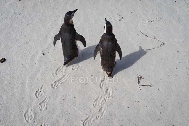 Vista aerea di due pinguini africani a Boulders Beach, Western Cape, Sudafrica — Foto stock
