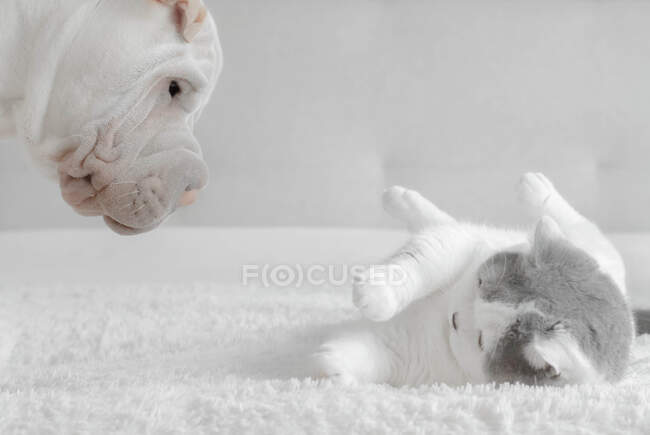 Shar-pei puppy playing with a British shorthair cat — Stock Photo