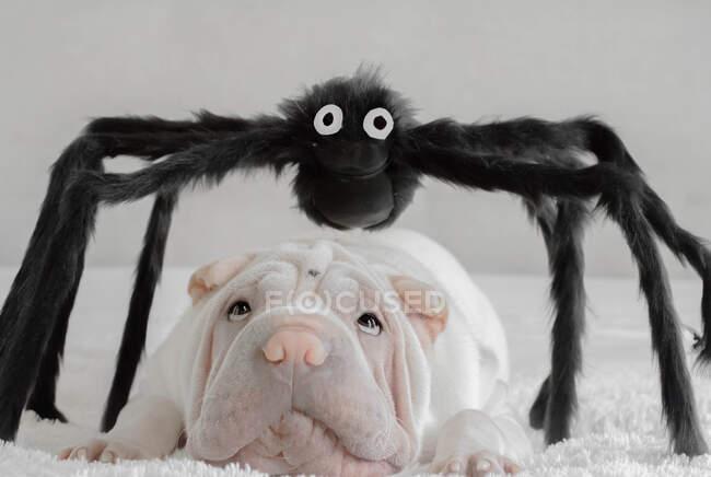 Shar-pei cachorro perro acostado bajo una araña gigante de Halloween - foto de stock