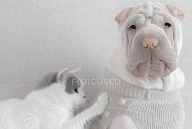 Gatto che tocca un cucciolo di cane Shar-pei con indosso un maglione — Foto stock