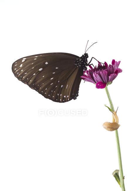 Mariposa y caracol en una flor, Indonesia - foto de stock