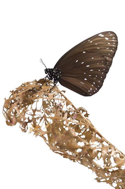 Mariposa sobre una hoja en descomposición, Indonesia - foto de stock