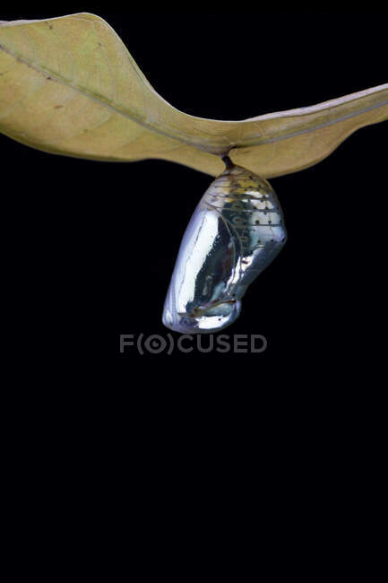 Butterfly cocoon hanging on a leaf, Indonesia — Stock Photo