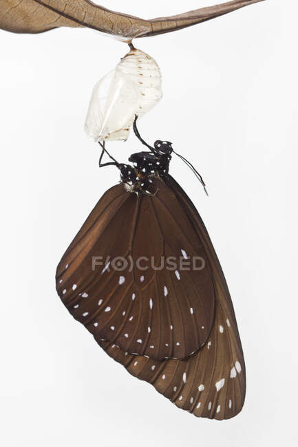 Mariposa emergiendo de una crisálida, Indonesia - foto de stock