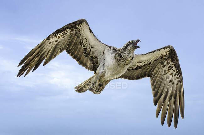 Яструб летить на синьому тлі неба. — стокове фото