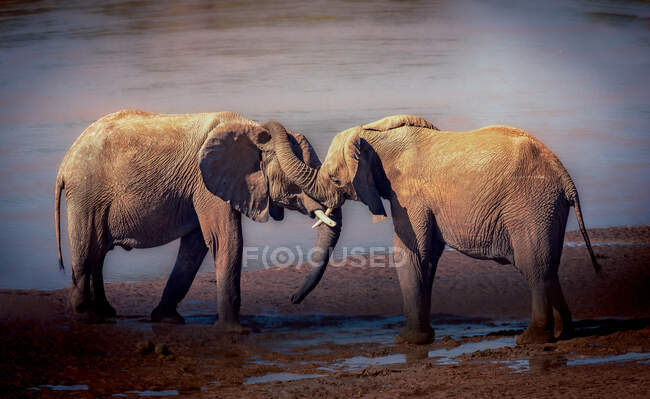 Due elefanti maschi che litigano tra loro, Kenya — Foto stock