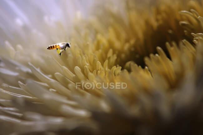 Avispa flotando junto a una flor en flor, Indonesia - foto de stock