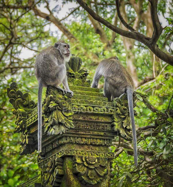 Due scimmie dalla coda lunga balinesi nel santuario della foresta delle scimmie spaventate, Ubud, Bali, Indonesia — Foto stock