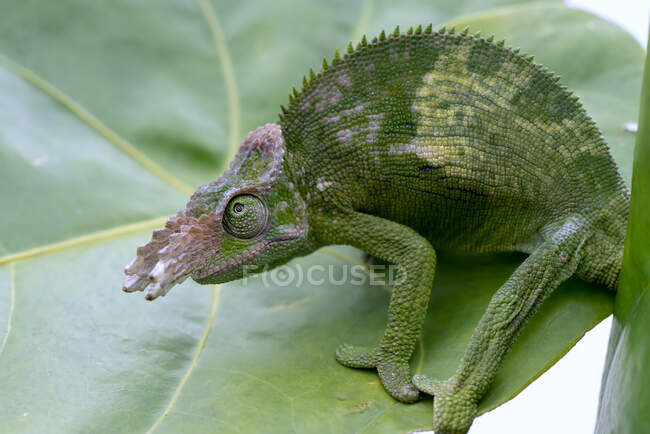 Close-up of a fischer chameleon on  leaf, Indonesia — Stock Photo