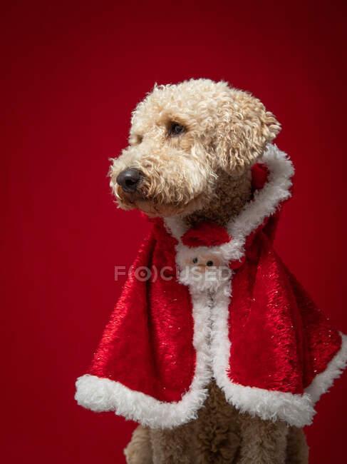 Retrato de un goldendoodle con una capa de Navidad - foto de stock