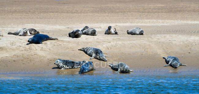 Le foche si crogiolano sulla Scotland Beach vicino a Dornoch, Highland, Scozia, Regno Unito — Foto stock