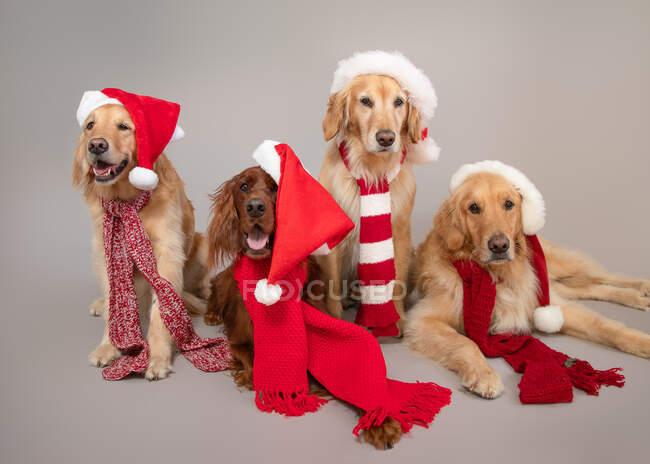 Золотые ретриверы и ирландские собачки в рождественских нарядах и шарфах — стоковое фото