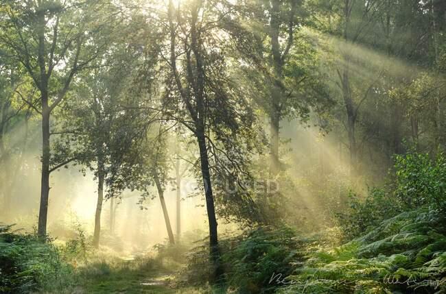 Солнечные лучи, текущие сквозь деревья в лесном массиве, Уорикшир, Англия, Великобритания — стоковое фото