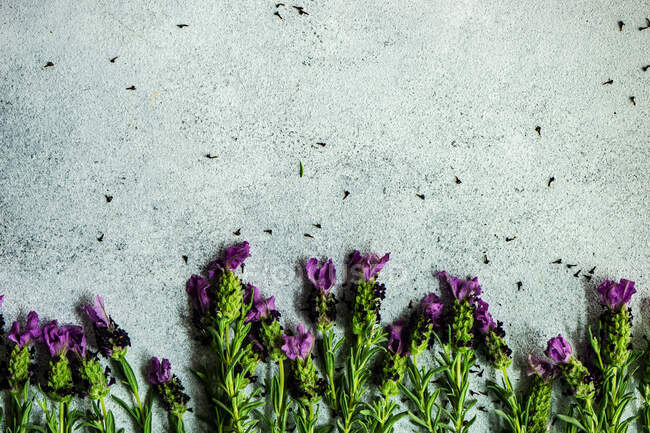Fresh lavender flowers in a floral frame on concrete background with copy space — Stock Photo