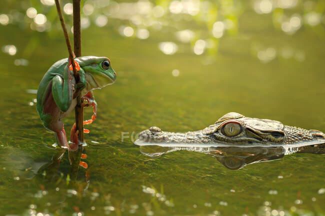 Cocodrilo en un río mirando a una rana en una rama, Indonesia - foto de stock