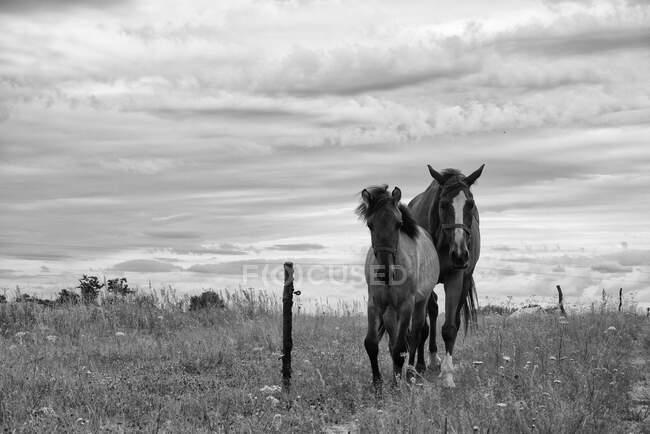 Due cavalli in piedi in un campo, Polonia — Foto stock